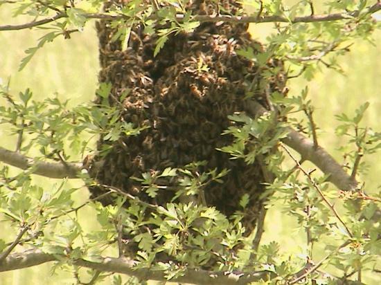 Essaim trouvé devant le rucher école le samedi 9 mai 2009